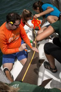 A student assists with taking a series of morphological measurements of a nurse shark.