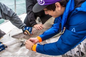 A student helps test the reflex of the shark's 'eyelid,' or nictitating membrane, to measure the shark's stress level.