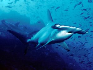 Scalloped_hammerhead_cocos