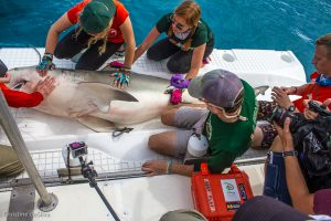 SRC intern Robbie Roemer preps for surgery to implant an acoustic tag in the abdomen of a recently mated female bull shark.