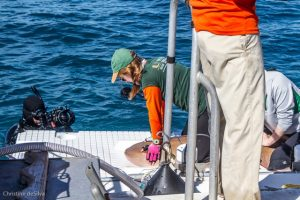 The UM shark research team working up a nurse shark