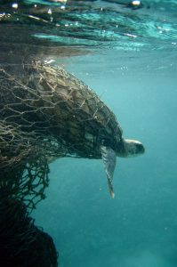 "As seen above: A green sea turtle (Chelonia mydas) stuck in a fishing net. Turtles often get stuck in nets that have broken free and are floating in the currents throughout the ocean, these nets are termed ""Ghost nets""."