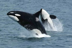 Image 2_1200px-Killerwhales_jumping