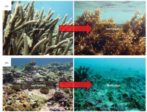 Figure 1. (a) Theses images show hard coral and macroalgae, the two groups most often used to assess reef health. (b) These images show reef builders and fleshy algae, which can be used to assess reef-health with a more community-based approach.