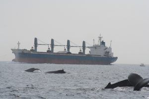 Increased noise from commercial shipping can have negative effects on marine animals, particularly those sensitive to sound.  Photo from nefsc.noaa.gov.