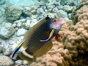 A pair of Hawaiian cleaner wrasse clean a dragon wrasse. [Source: Wikimedia Commons, photo by Brocken Inaglory (https://commons.wikimedia.org/wiki/File:Cleaning_station_konan.jpg)]