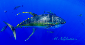 A yellowfin tuna, the most common species of tuna caught in the Pacific Islands. https://commons.wikimedia.org/wiki/File:Al_mcglashan_tuna.jpg