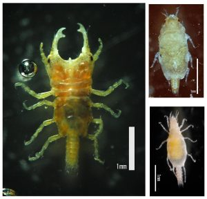 Larval gnathiid isopods (bottom right) feed on the blood of fish before molting. Adult males (left) and females (right) tend to remain in the sediment. Image from Wikimedia Commons.