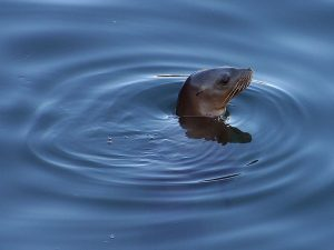 A California sea lion (Zalophus californianus) goes for a swim [Wikipedia Commons]