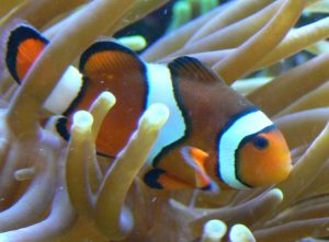A Nemo lookalike in close proximity to an anemone host. [Wikimedia Commons]