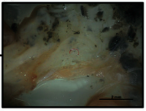 Zoomed in image of red plastic debris inside the digestive tract of an Acoupa weakfish specimen (Ferreira et al., 2016)
