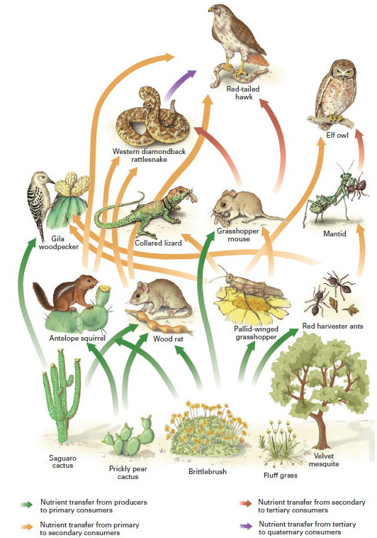 The transfer of energy within a food chain: Why do large ...